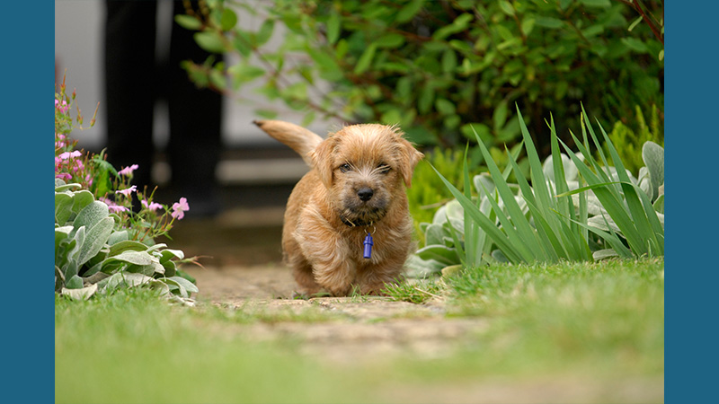 Norfolk Terrier 5