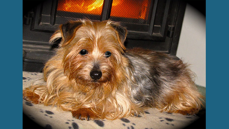 Norfolk Terrier 6