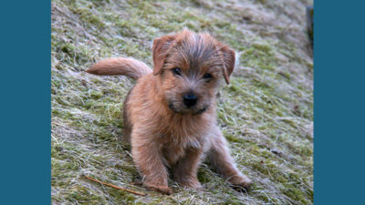 Norfolk Terrier 8