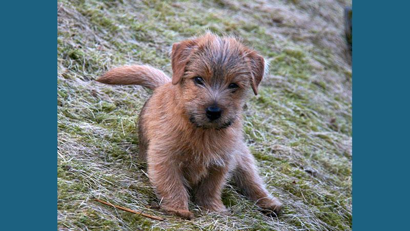 Norfolk Terrier 8