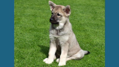 Norwegian Elkhound 2