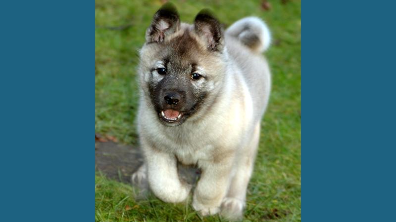 Norwegian Elkhound 5