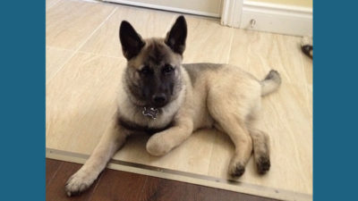 Norwegian Elkhound 7