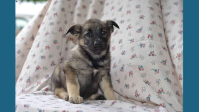 Norwegian Elkhound 8