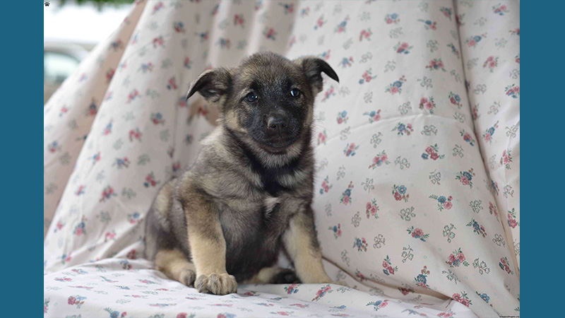 Norwegian Elkhound 8