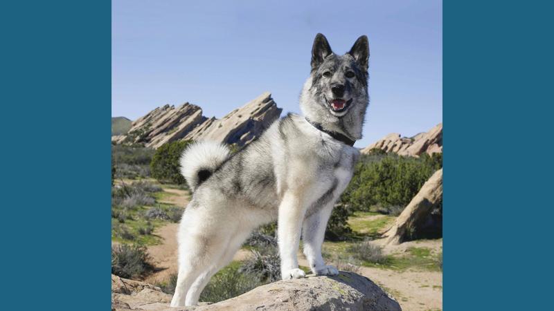 Norwegian Elkhound 9