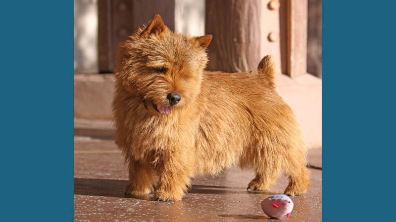 Norwich Terrier 1