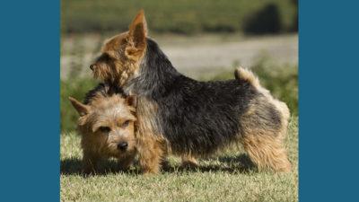 Norwich Terrier 10