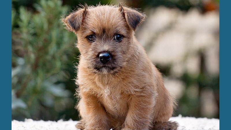 Norwich Terrier 11