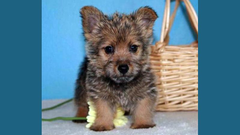 Norwich Terrier 3