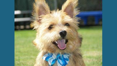 Norwich Terrier 4