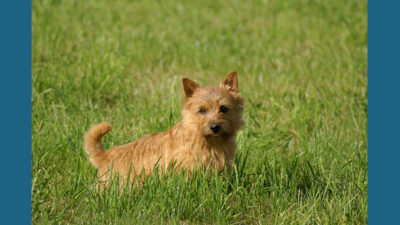 Norwich Terrier 5