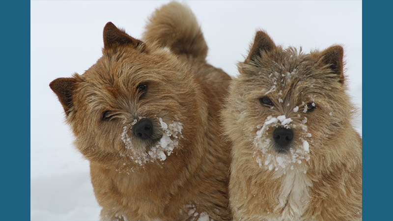 Norwich Terrier 7