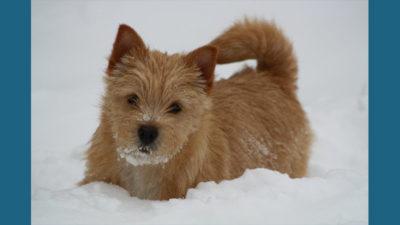 Norwich Terrier 8
