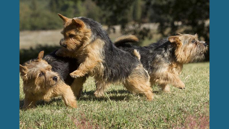 Norwich Terrier 9