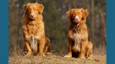Nova Scotia Duck Tolling Retriever 10