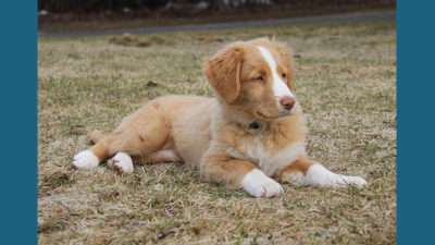Nova Scotia Duck Tolling Retriever 11