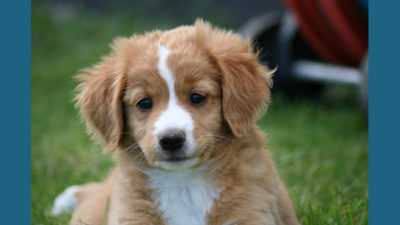 Nova Scotia Duck Tolling Retriever 12