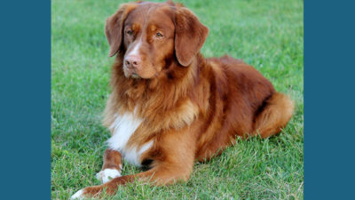 Nova Scotia Duck Tolling Retriever 13