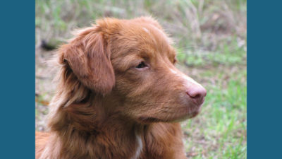 Nova Scotia Duck Tolling Retriever 14