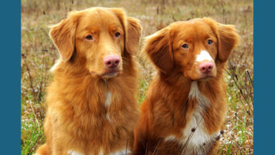 Nova Scotia Duck Tolling Retriever 3