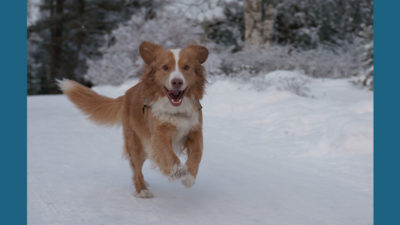 Nova Scotia Duck Tolling Retriever 5