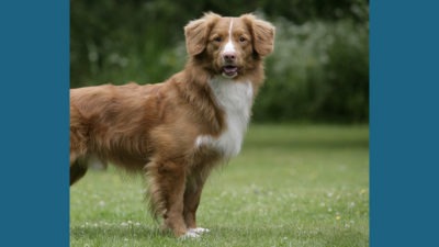 Nova Scotia Duck Tolling Retriever 6