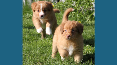 Nova Scotia Duck Tolling Retriever 7