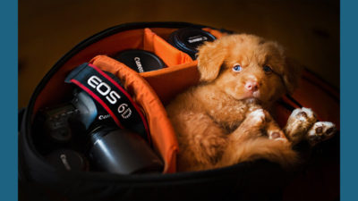 Nova Scotia Duck Tolling Retriever 9