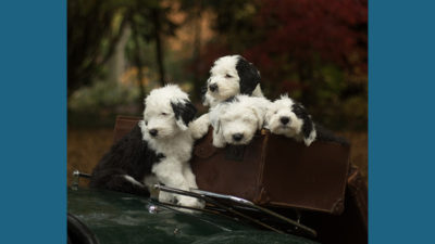 Old English Sheepdog 10