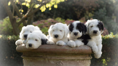Old English Sheepdog 11