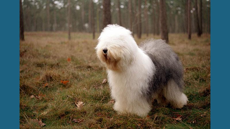 Old English Sheepdog 13