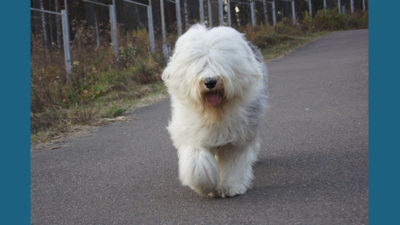 Old English Sheepdog 14