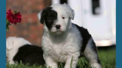 Old English Sheepdog 15