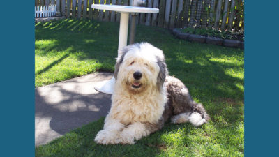 Old English Sheepdog 2