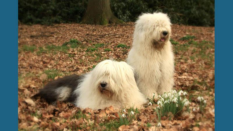 Old English Sheepdog 4