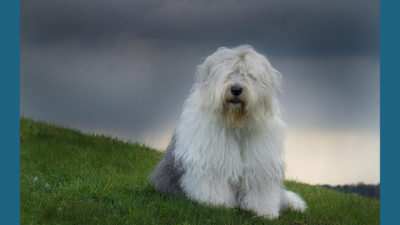 Old English Sheepdog 5