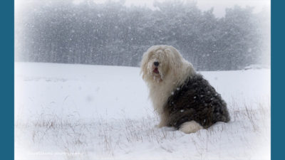 Old English Sheepdog 6