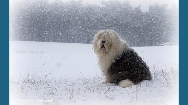 Old English Sheepdog 6
