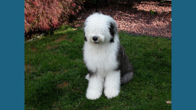 Old English Sheepdog 7