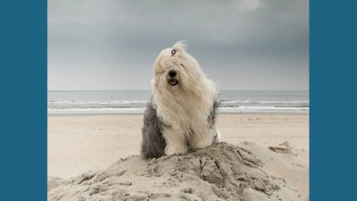 Old English Sheepdog 9