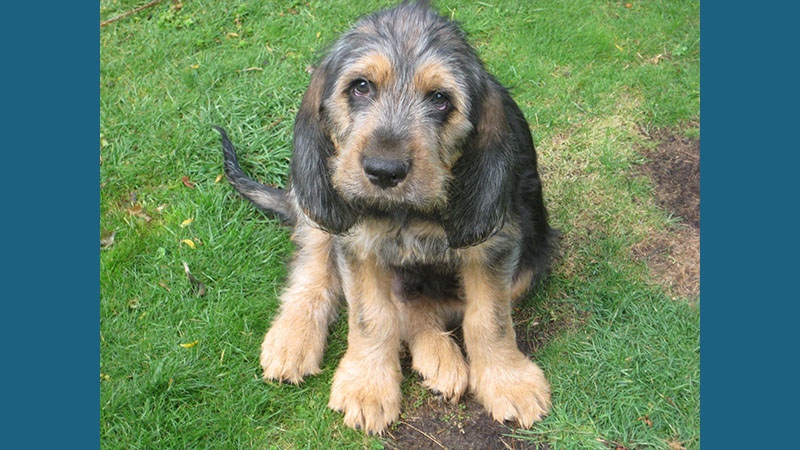 Otterhound 2