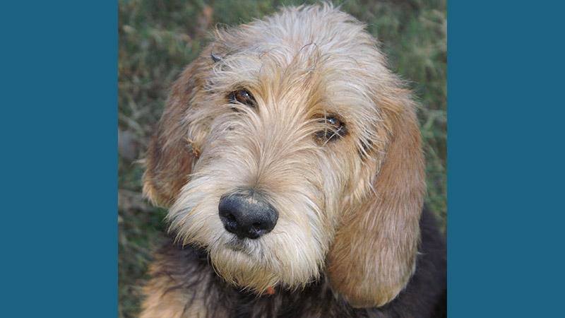 Otterhound 4