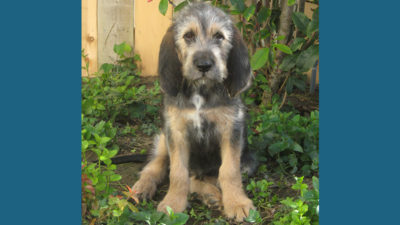 Otterhound 5