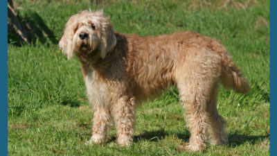 Otterhound 6