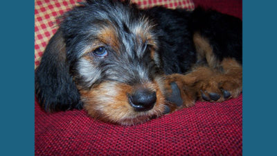 Otterhound 7