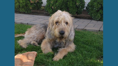 Otterhound 9