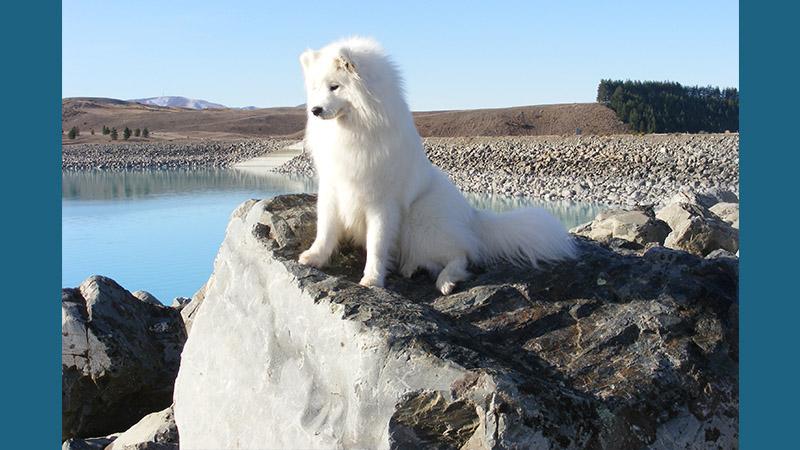 Samoyed 8