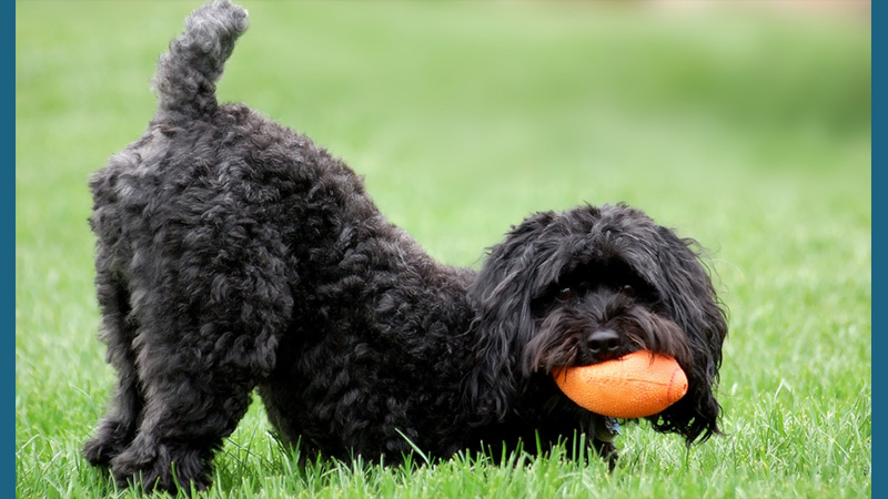 Schnoodle 1