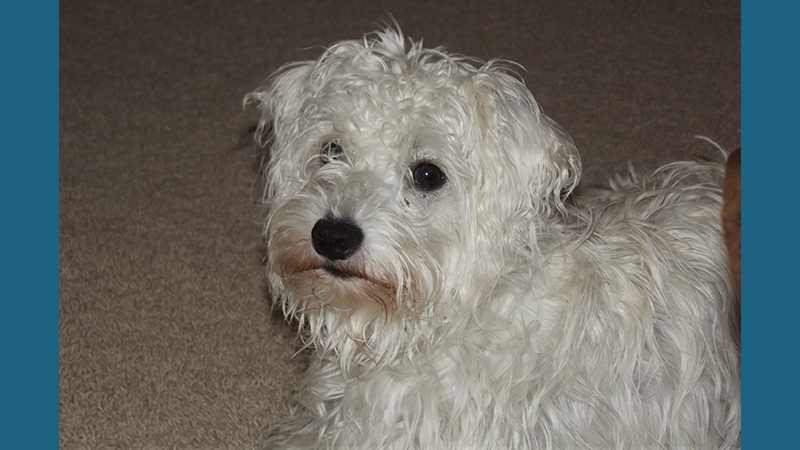 Schnoodle 3